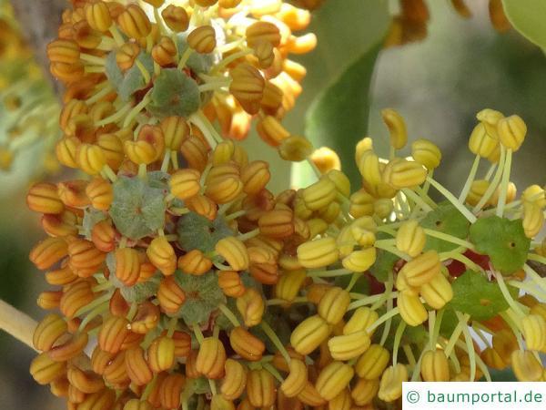 Johannisbrotbaum (Ceratonia siliqua)