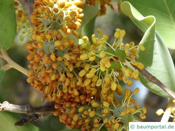 Johannisbrotbaum (Ceratonia siliqua) verblühte Blüte