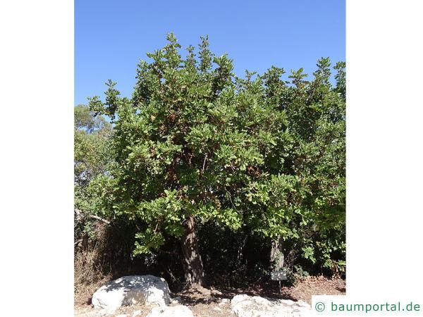 Johannisbrotbaum (Ceratonia siliqua) Baum