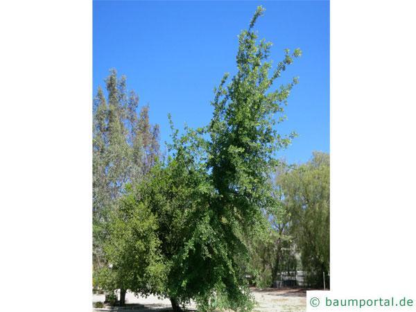 Kalifornische Eiche (Quercus lobata) Baum