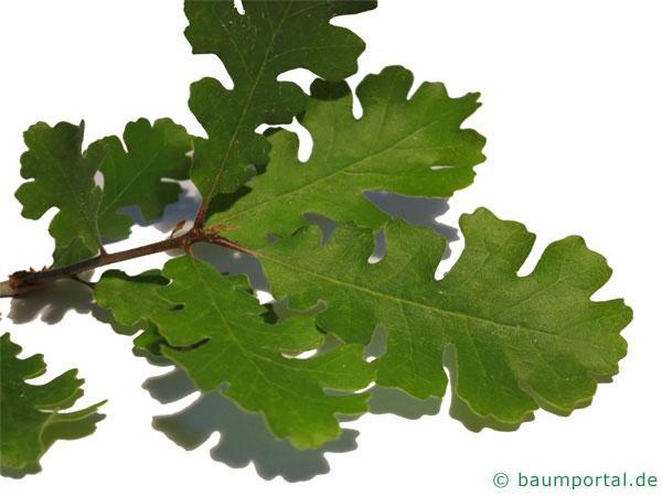 Kalifornische Eiche (Quercus lobata) Blätter