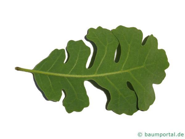 Kalifornische Eiche (Quercus lobata) Blattrückseite