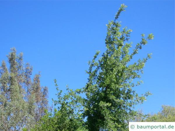 Kalifornische Eiche (Quercus lobata) Krone