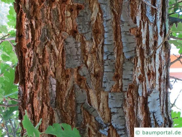Kalifornische Eiche (Quercus lobata) Stamm / Borke / Rinde