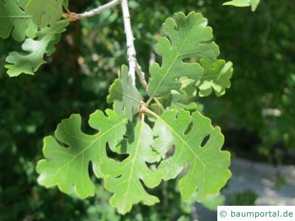 Kalifornische Eiche (Quercus lobata) Zweig