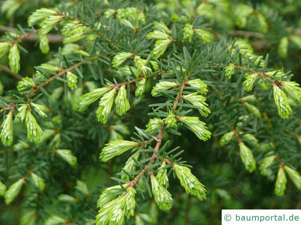 kalifornische Hemlock-Tanne (Tsuga canadensis) Austrieb