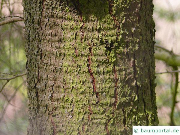 kalifornische Hemlock-Tanne (Tsuga canadensis) Stamm / Rinde / Borke