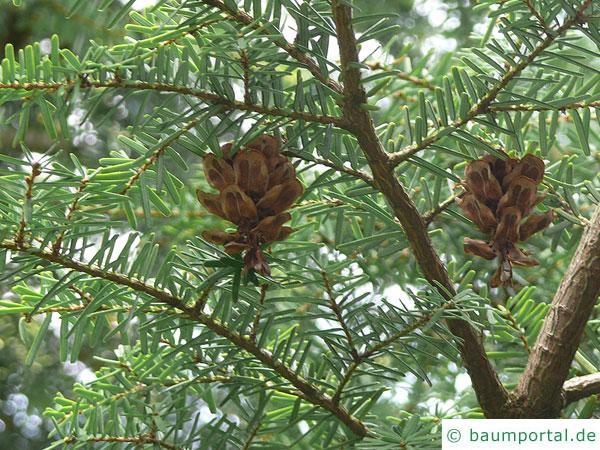 kalifornische Hemlock-Tanne (Tsuga canadensis) Zapfen
