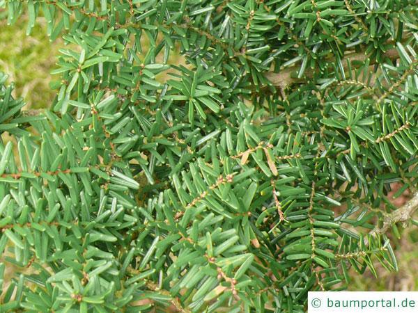 kalifornische Hemlock-Tanne (Tsuga canadensis) Zweige