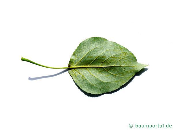 kanadische Pappel (Populus canadensis) Blattunterseite