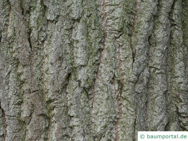 kanadische Pappel (Populus canadensis) Stamm / Rinde / Borke