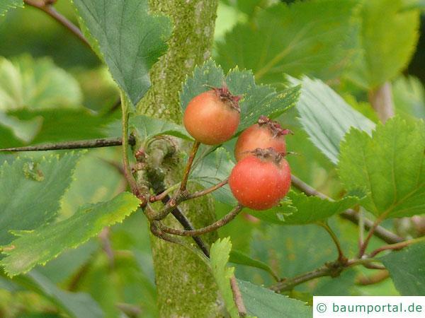 kanadischer Weißdorn (Crataegus canadensis) apfelartige Früchte