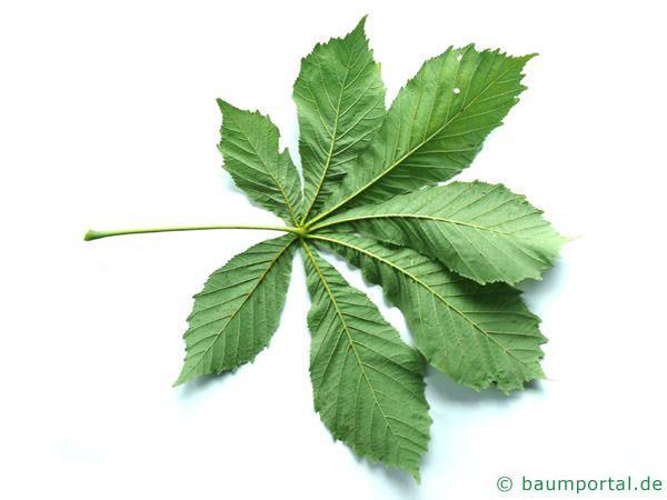 Kastanie (Aesculus hippocastanum) Blattunterseite