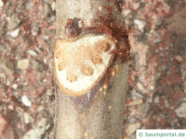Kastanie (Aesculus hippocastanum) Blattnarbe