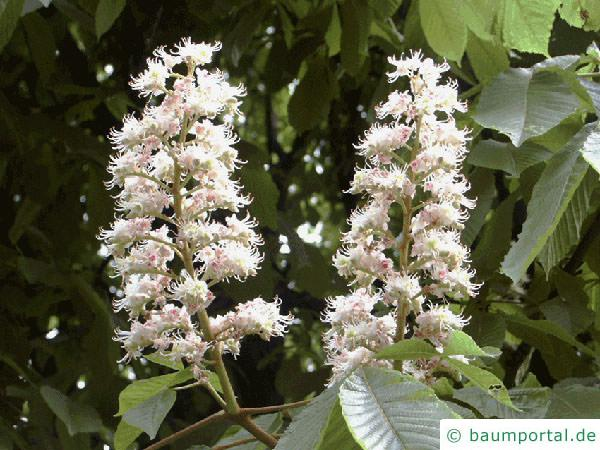 Kastanie (Aesculus hippocastanum) Blüte-2