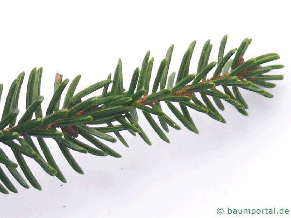 Kaukasus Fichte (Picea orientalis) Nadelstellung