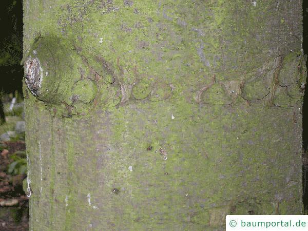 Kaukasus Fichte (Picea orientalis) Stamm