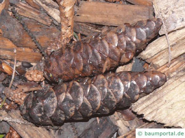 Kaukasus Fichte (Picea orientalis) Zapfen