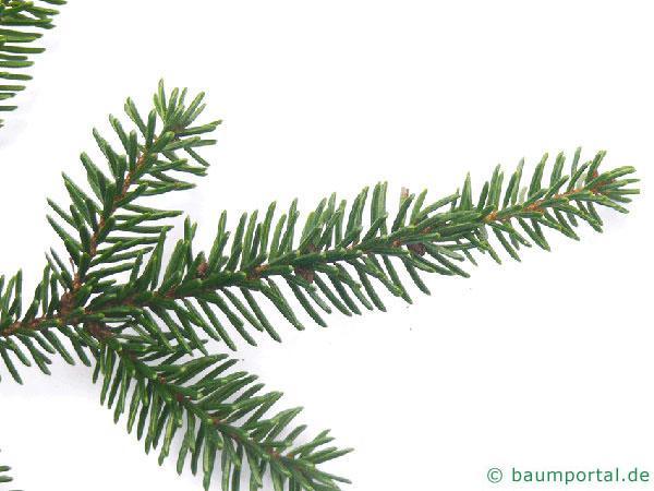 Kaukasus Fichte (Picea orientalis) Zweig