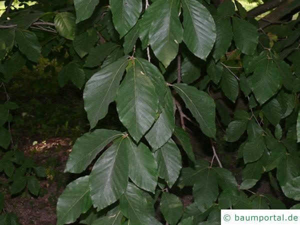 Kerb-Buche (Fagus crenata) Blätter am Zweig