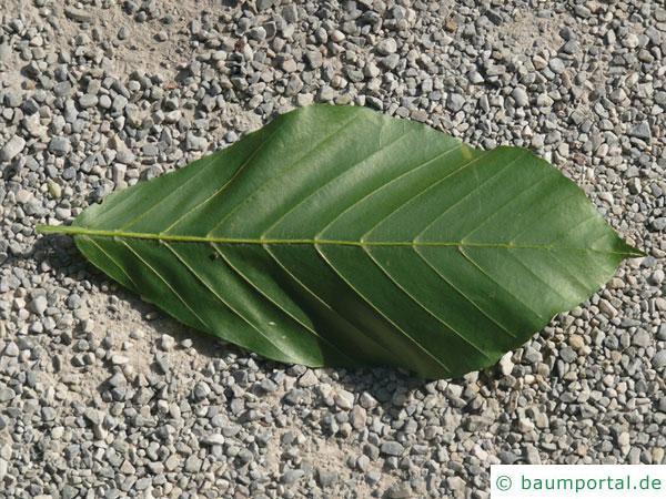 Kerb-Buche (Fagus crenata) Blatt Unterseite