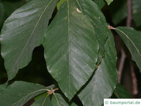 Kerb-Buche (Fagus crenata) Blätter