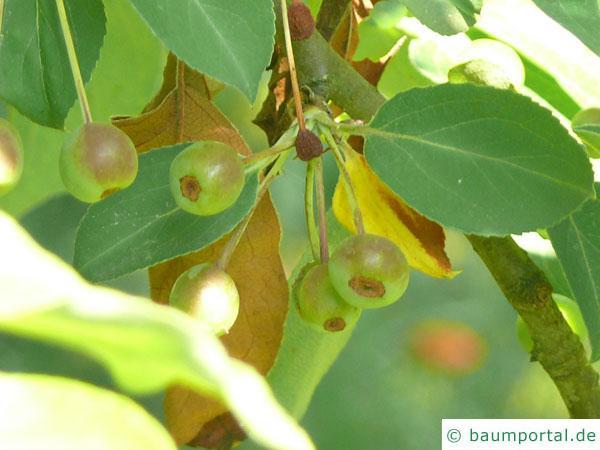 Kirsch-Apfel (Malus baccata) Apfel