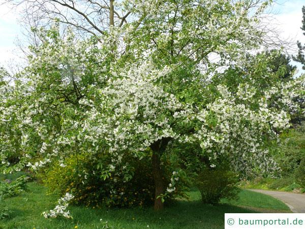 Kirsch-Apfel (Malus baccata) Krone mit Blüten