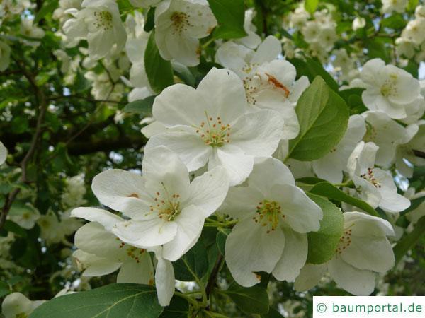 Kirsch-Apfel (Malus baccata) Blüte