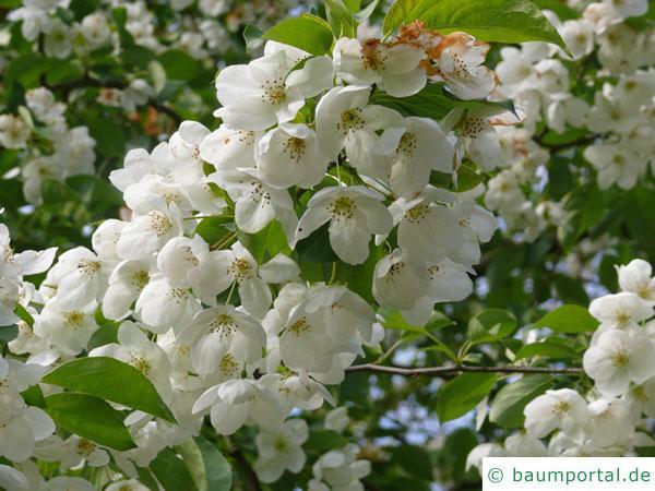 Kirsch-Apfel (Malus baccata) Blüten