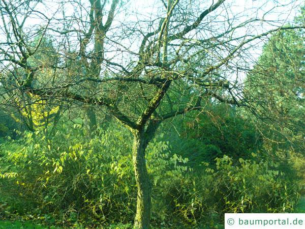 Kirsch-Apfel (Malus baccata) Baum im Winter