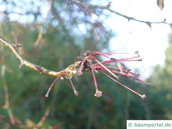 Kirsch-Apfel (Malus baccata) Wintermerkmale
