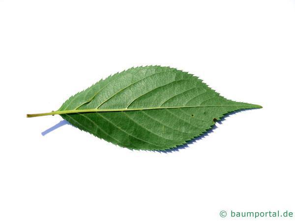 Kirsche (Prunus avium) Blattrückseite