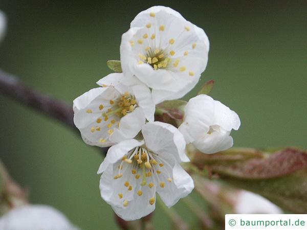 Kirsche (Prunus avium) Blüte