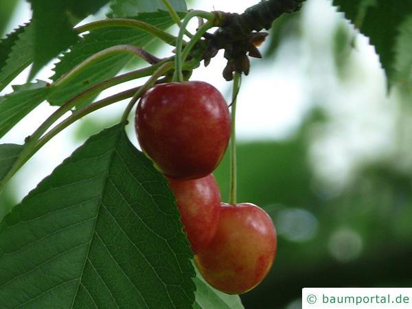 Frucht / Kirsche | hier die Frucht von der Süßkirsche