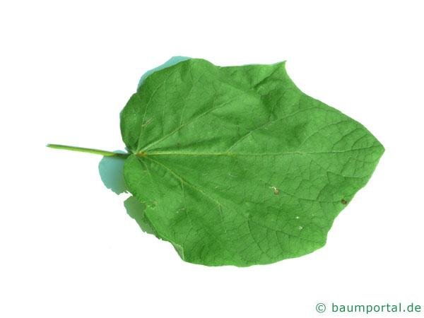 kleinblütiger Trompetenbaum (Catalpa ovata) Blatt