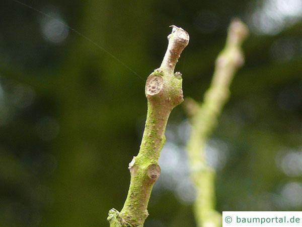 kleinblütiger Trompetenbaum (Catalpa ovata) Endknospe