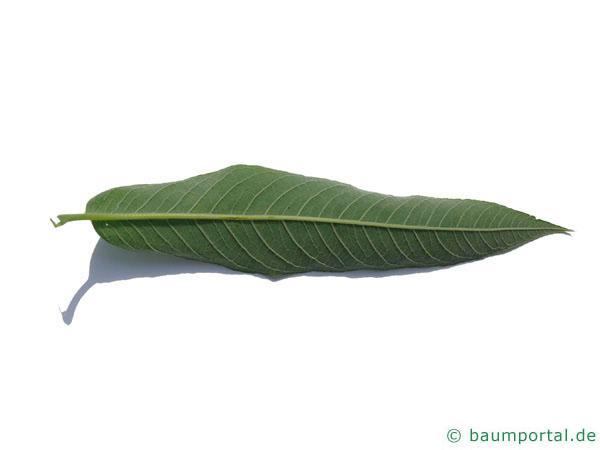 Knack-Weide (Salix fragilis) Blattunterseite