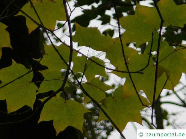 kolchischer Ahorn (Acer cappadocicum) Blätter