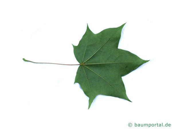 kolchischer Ahorn (Acer cappadocicum) Blatt Unterseite