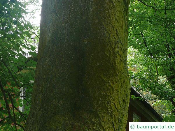 kolchischer Ahorn (Acer cappadocicum) Stamm / Rinde / Borke