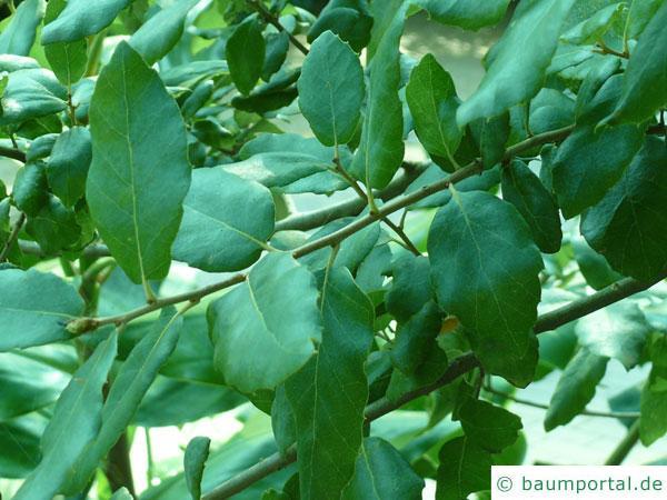 Kork-Eiche (Quercus suber) Blaetter