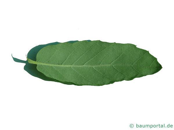 Kork-Eiche (Quercus suber) Blattunterseite