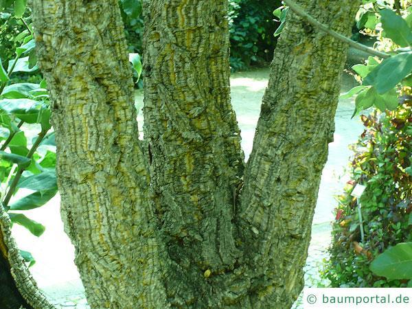Kork-Eiche (Quercus suber) Stamm / Rinde / Borke