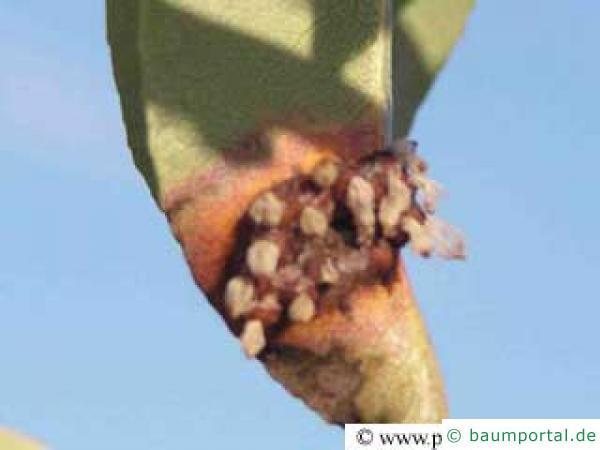Birnengitterrost am Blatt der Birne