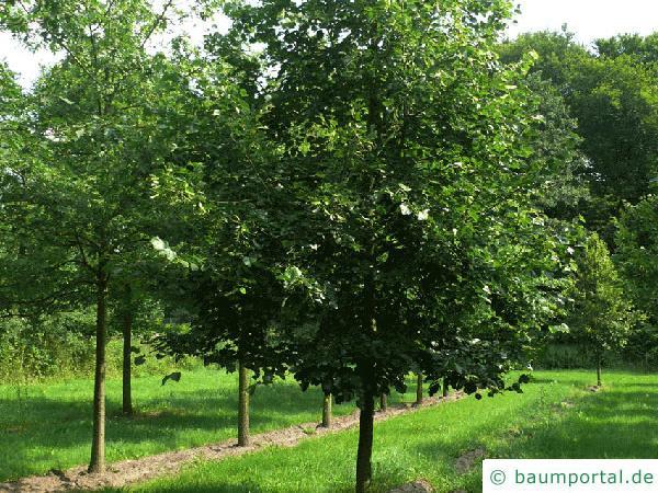 Krim-Linde (Tilia x euchlora) Baum
