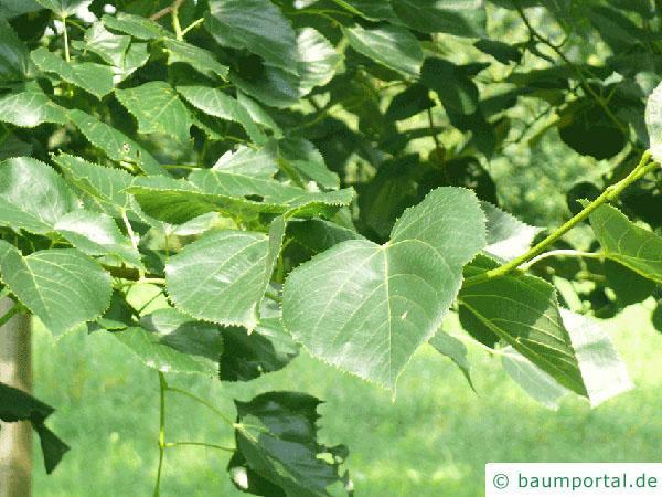 Krim-Linde (Tilia x euchlora) Blätter