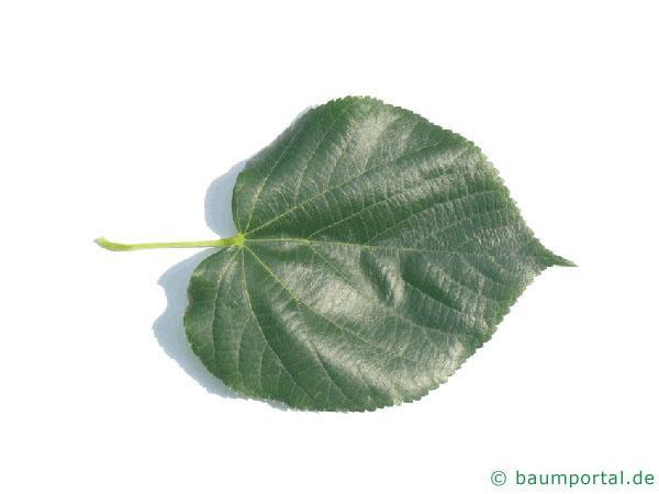Krim-Linde (Tilia x euchlora) Blatt