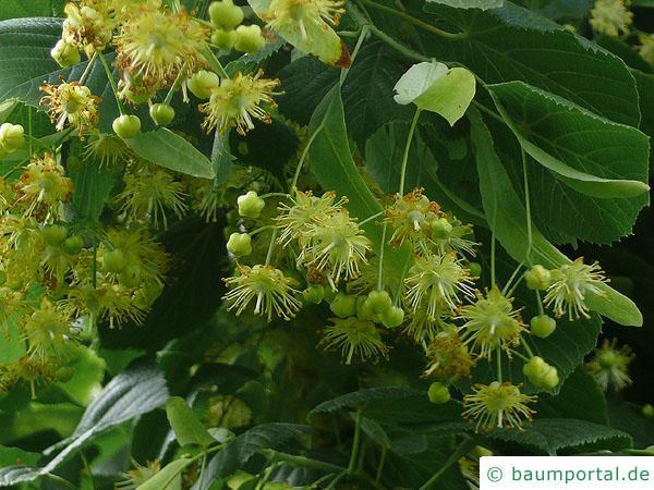 Krim-Linde (Tilia x euchlora) Blüten