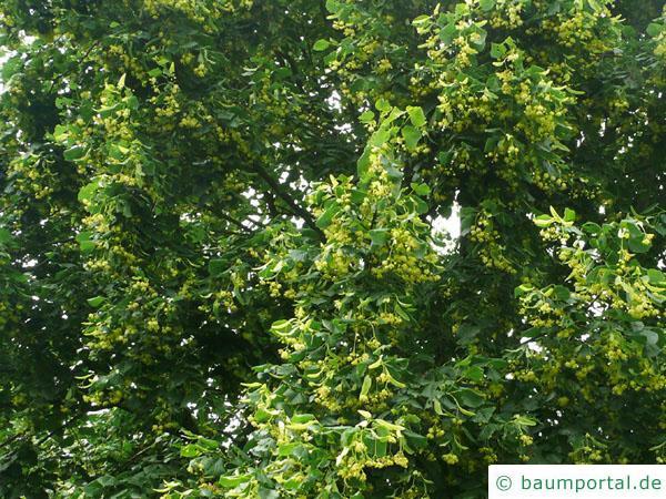 Krim-Linde (Tilia x euchlora) Blätter und Blüten